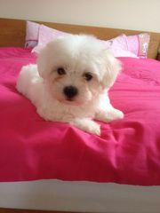 Kc Reg Maltese Terrier Pups For Sale