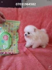 UIA Stunning,  miniature White Pom  07031956739