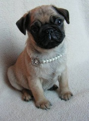 Friendly Pug puppies for sale