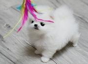 NREGLEKJ friendly,  and charming  sociable Pomeranian For Sale CALL 070