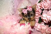 excellent home raised teacup Yorkie Puppies for Adoption